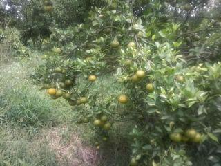 Perangkap lalat buah organik