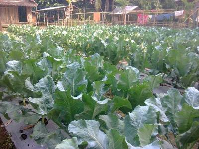 brokoli 40 hri