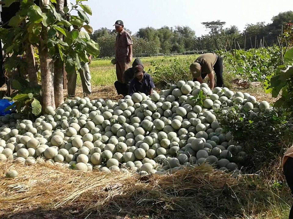 melon ponorogo 2