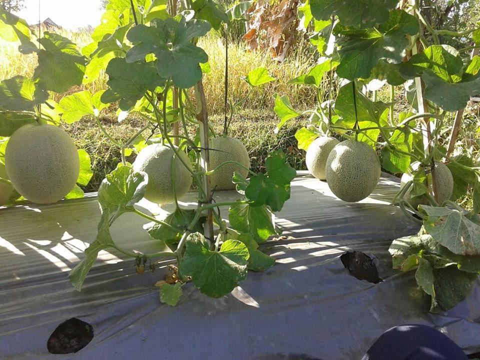 melon ponorogo 3