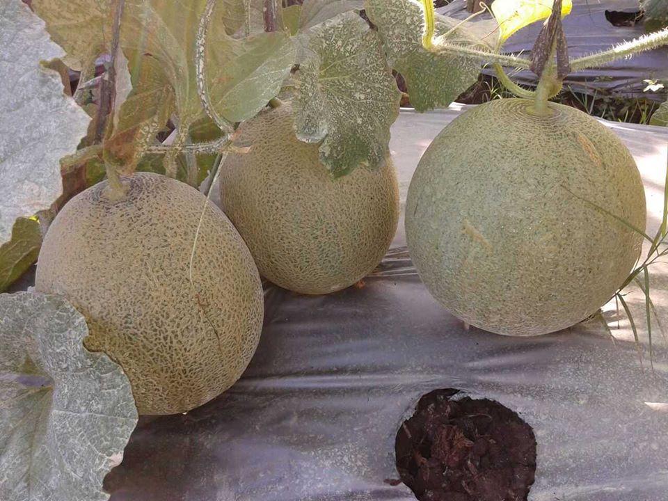 melon ponorogo6