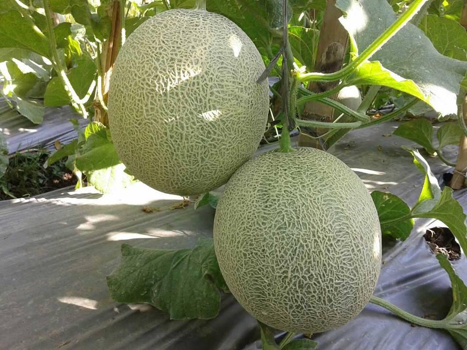 melon ponorogo7