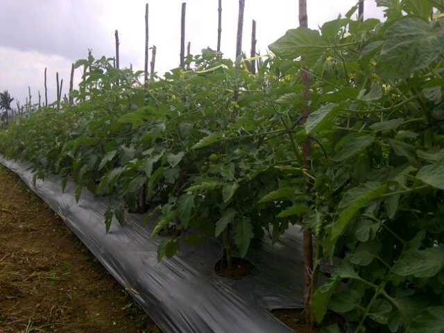 tomat 37