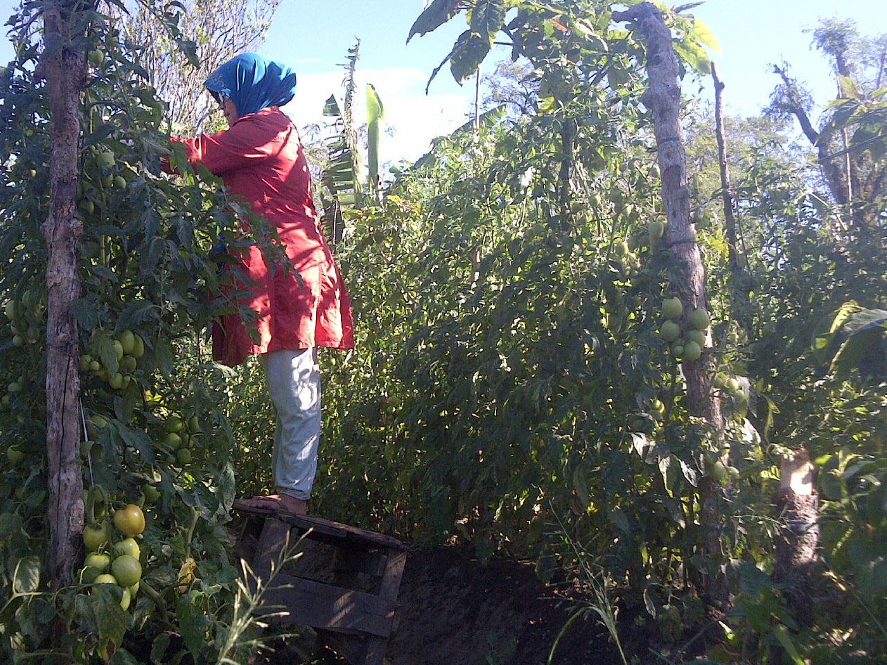 tomat pak rudi1