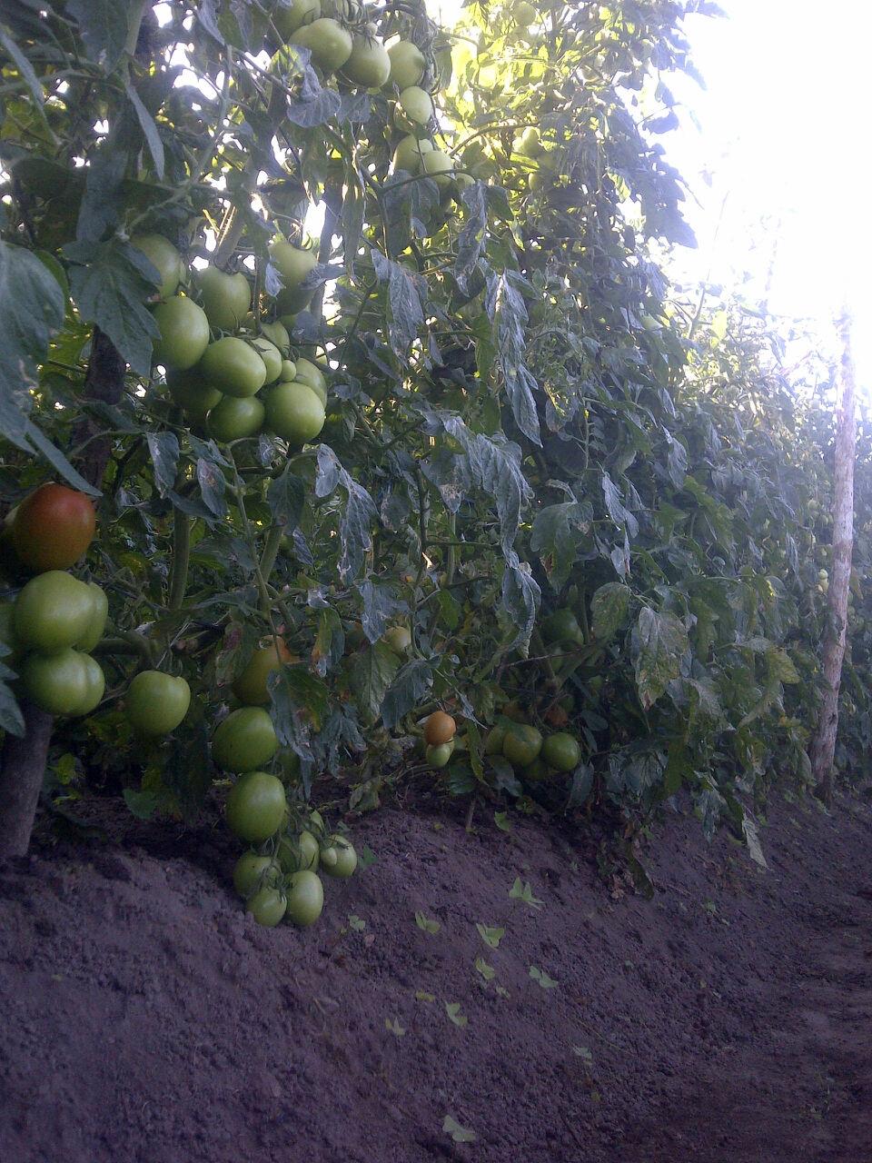tomat pak rudi2